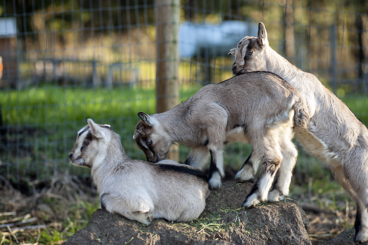 Baby goats enjoying life on the ranch