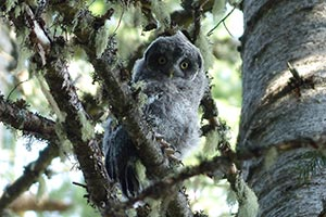 baby great gray owl in tree