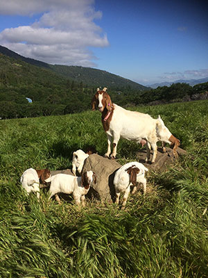 Boer meat goats raised on organic pasture