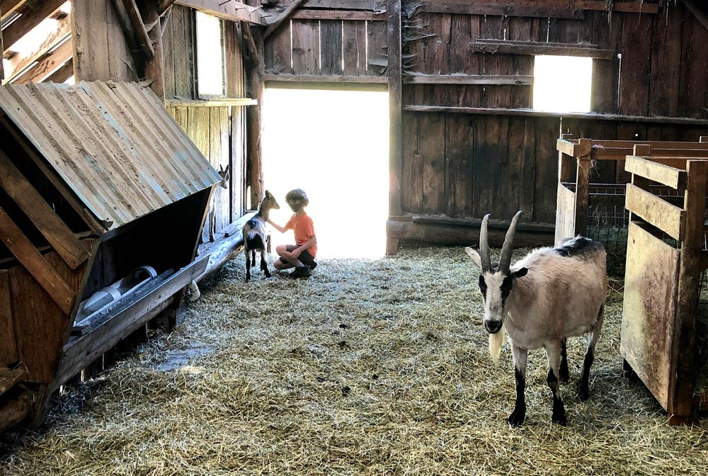 child petting goats during farm stay camping trip