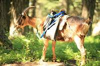Pack goat wearing backpack
